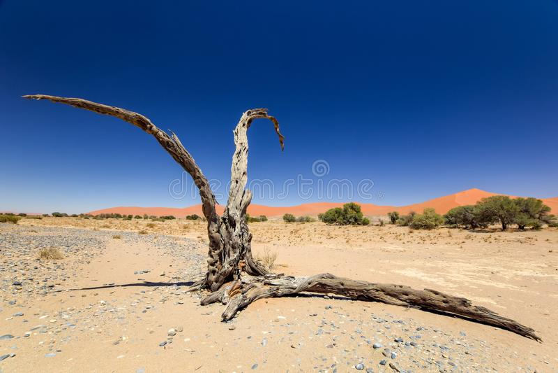 Dött träd i Sossusvlei nära Sesriem i den berömda Namib öknen i Namibia, Afrika arkivfoto