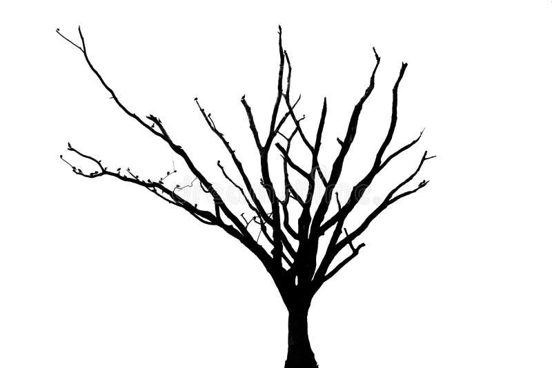 Dött träd med vit bakgrund royaltyfri foto