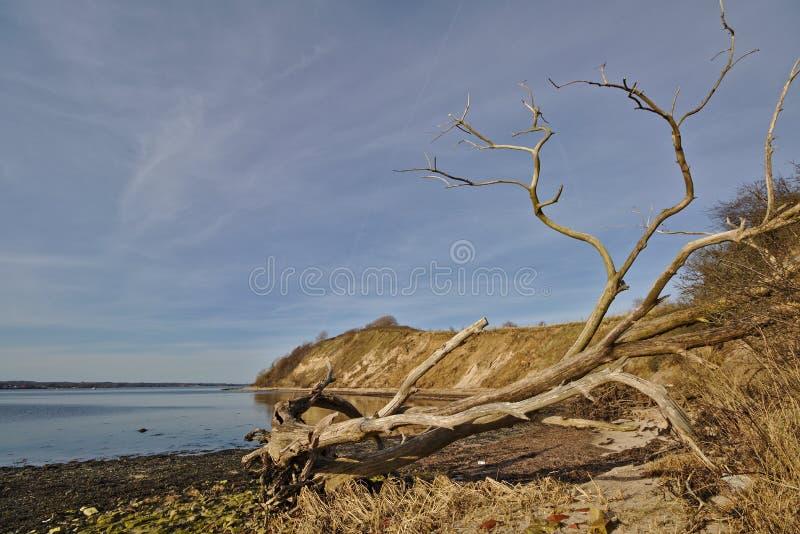 Dött träd på stranden med den branta klippan i avståndet royaltyfri fotografi
