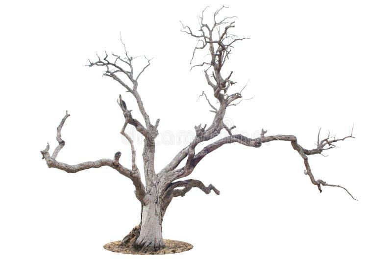 Dött träd som isoleras på vit royaltyfria bilder