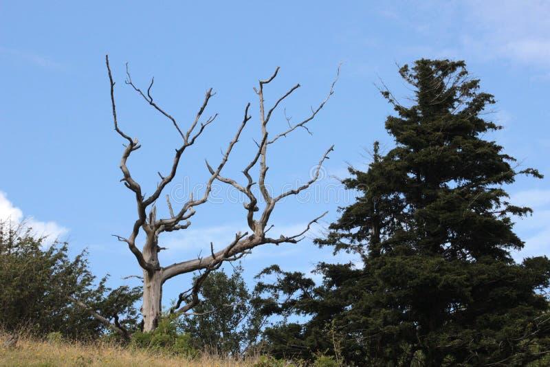 Dött träd som ses mot blå himmel royaltyfria bilder