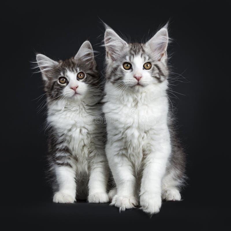 Dúo de dos negros y del gato atigrado marrón con los gatitos blancos de Maine Coon fotografía de archivo libre de regalías