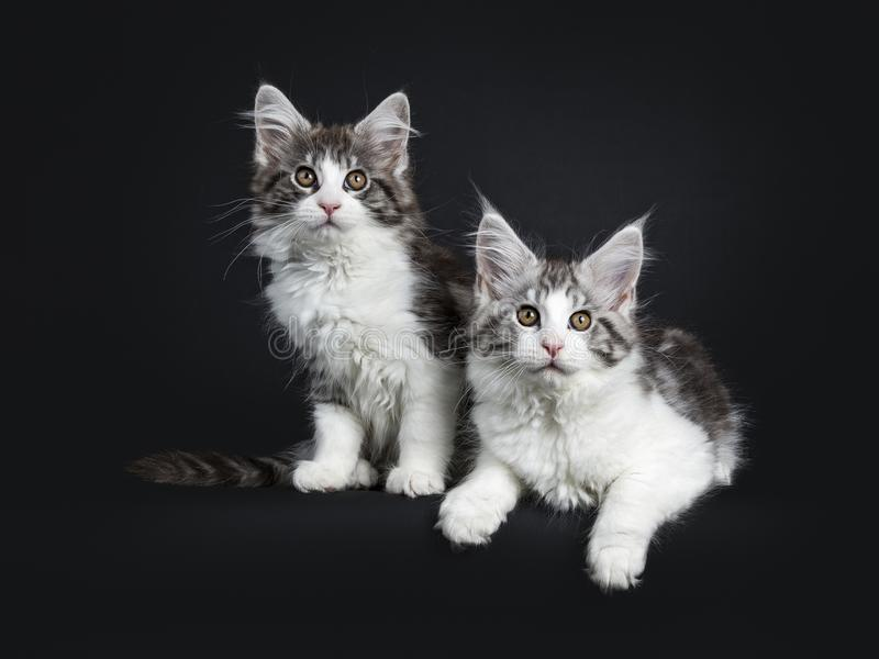 Dúo de dos negros y del gato atigrado marrón con los gatitos blancos de Maine Coon foto de archivo libre de regalías