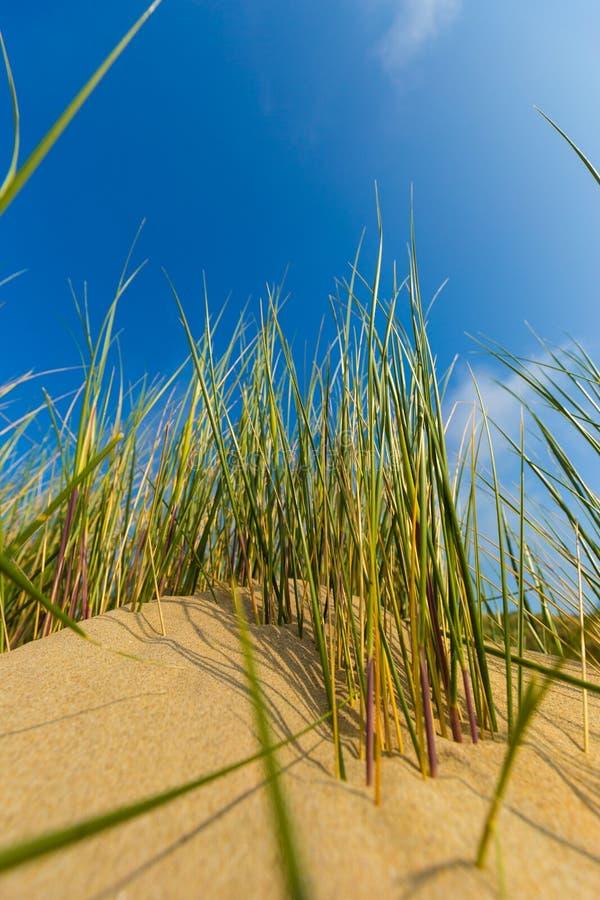 Dünen in belgischer Nordsee fahren gegen Federwolke und Strati und Reedgras die Küste entlang stockbilder