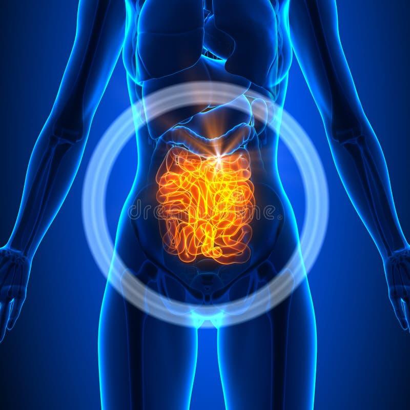 Dünndarm - Weibliche Organe - Menschliche Anatomie Stock Abbildung ...