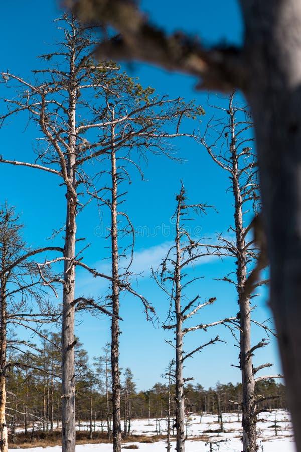 Dünne Bäume mit Niederlassungen auf Hintergrund des blauen Himmels stockfoto