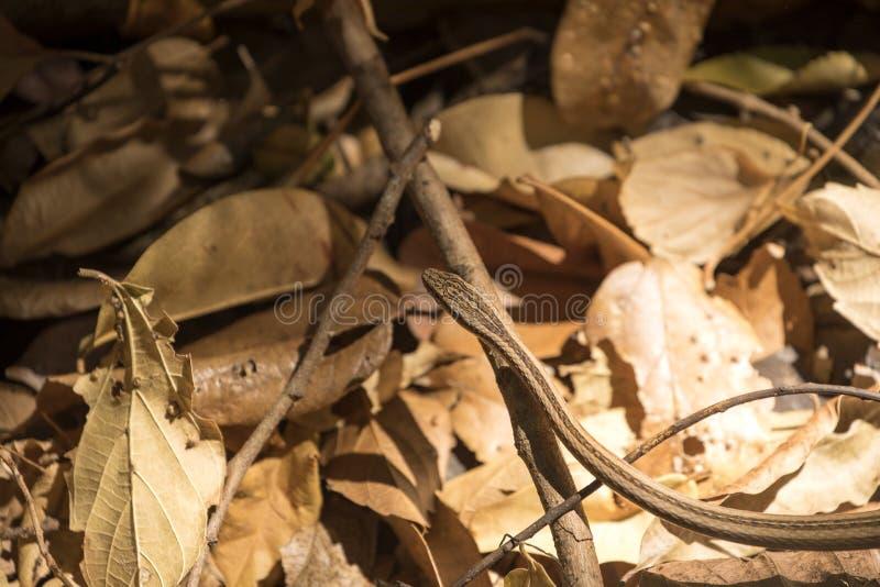 Dünne der Schlange Klasse Liophidium, Reservierung Ankarana, Madagaskar vermutlich stockbilder