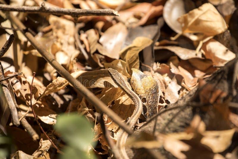 Dünne der Schlange Klasse Liophidium, Reservierung Ankarana, Madagaskar vermutlich stockfoto