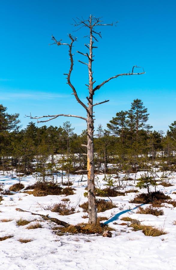Dünner Baum mit Niederlassungen auf Hintergrund des blauen Himmels lizenzfreie stockfotos