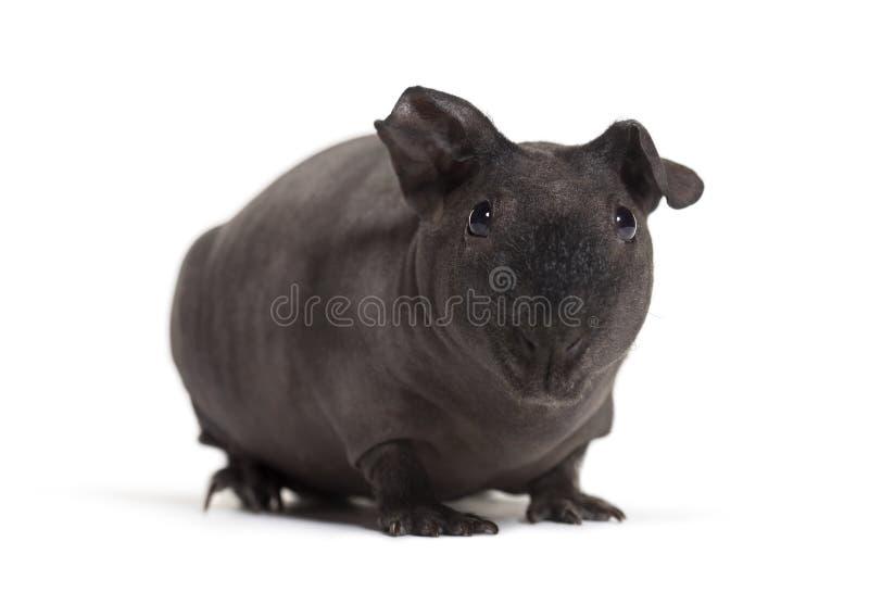 Dünnes Schwein, Meerschweinchen gegen weißen Hintergrund stockfotografie