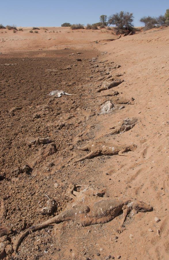 Dürre tötet Tausenden Kängurus in Nationalpark Sturt lizenzfreie stockfotografie