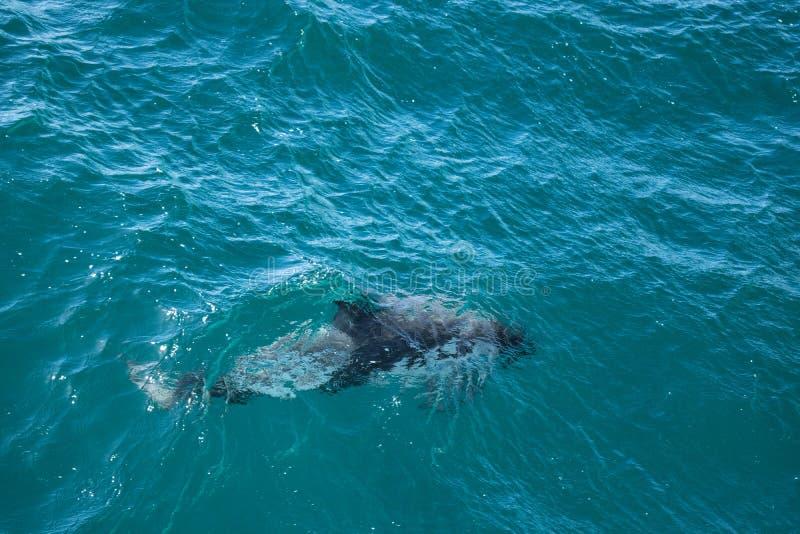 Düsterer Delphin stockfoto
