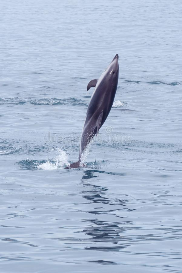 Düsterer Delphin, der in Kaikoura pirouetting ist lizenzfreie stockfotos