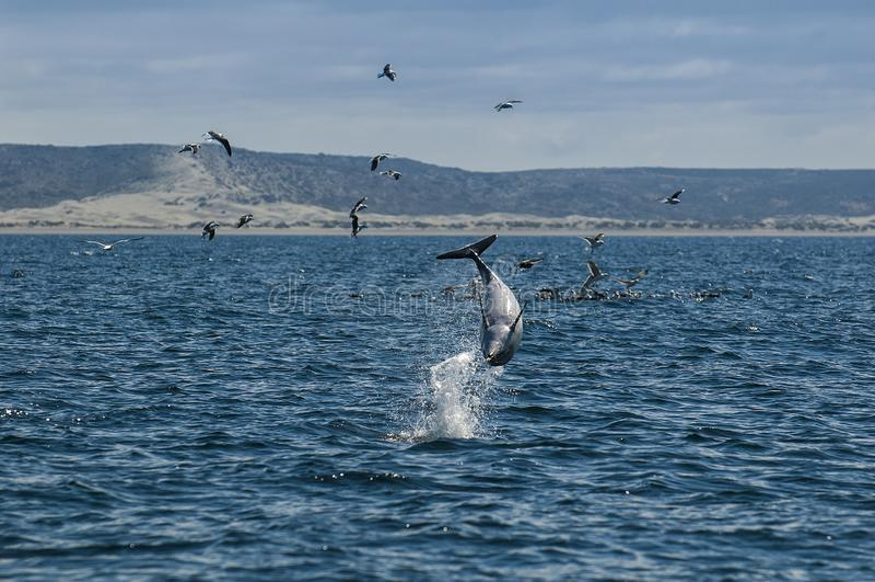 Düsterer Delphin, Patagonia, Argentinien stockfotos