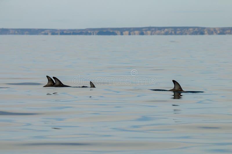Düsterer Delphin, Patagonia, Argentinien lizenzfreie stockbilder