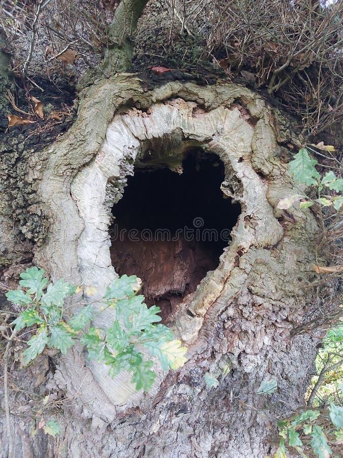 Dąb dębowy dębu robus drzewo pnia dziura las leśny natura jesień natura obrazy stock