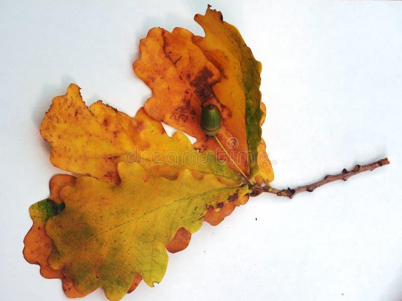 Dąb gałąź z żółtymi jesień liśćmi i acorn na białym backgr obrazy stock