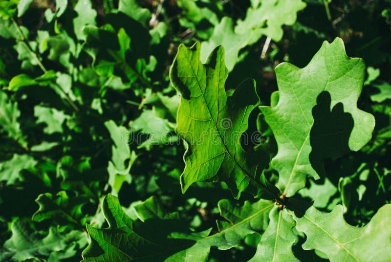 Dąb gałąź z zielenią opuszcza na słonecznym dniu Dębowy drzewo w lecie obrazy stock
