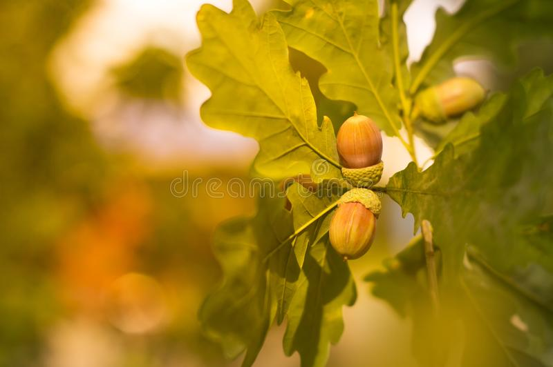 Dąb gałąź z zieleni acorns na słonecznym dniu i liśćmi zamazujący tło zbliżenie zdjęcia royalty free