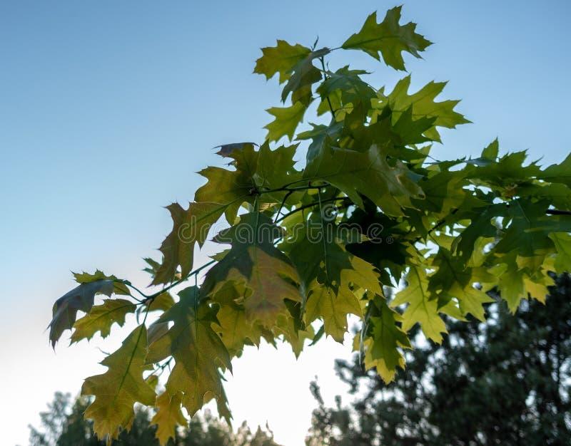 Dąb gałąź z zielonymi liśćmi zdjęcie stock