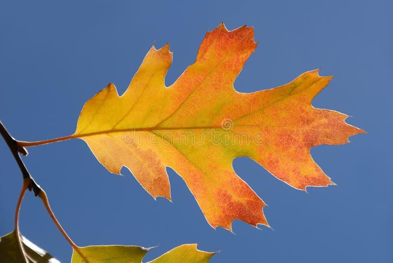 dąb liści jesienią zdjęcia royalty free