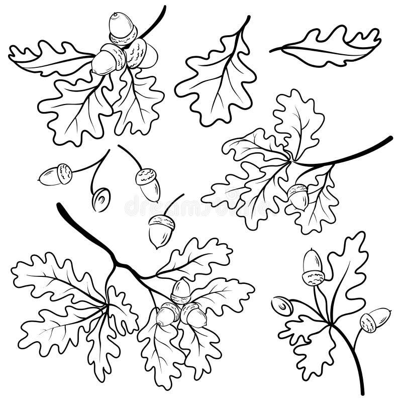 Dąb rozgałęzia się z acorns, kontur ilustracji
