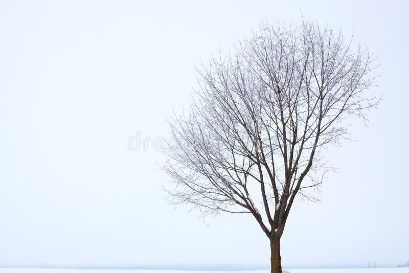 dąb zima pojedyncza drzewna obrazy royalty free