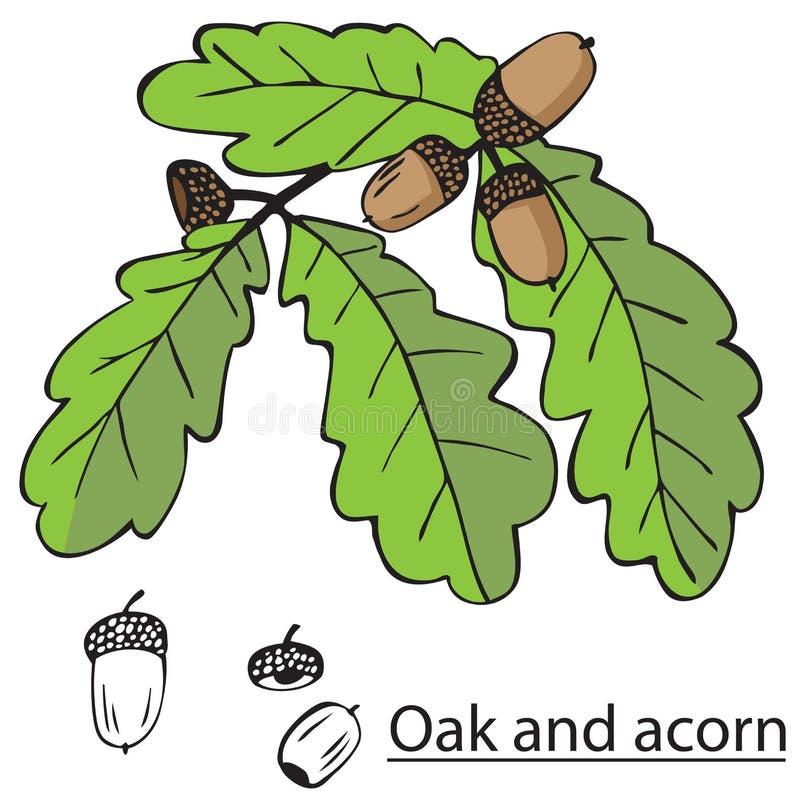 Dębowa gałąź i acorns ilustracji