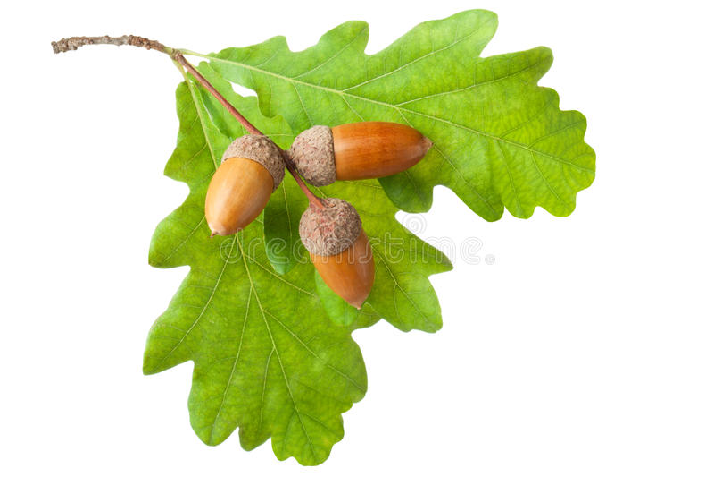 Dębowa gałązka z liść i acorns fotografia royalty free