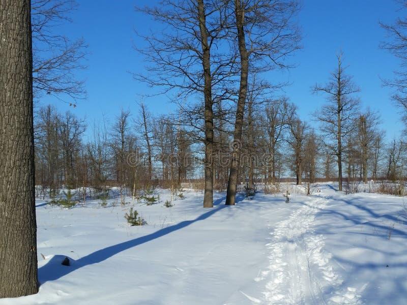Dębowa lasu A opóźniona wiosna maszerujący Rosja obrazy stock