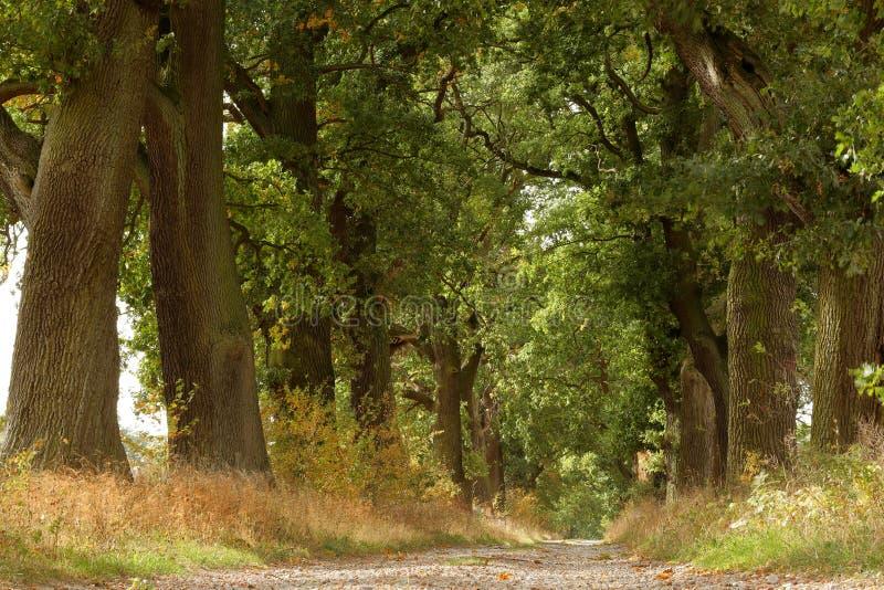 Dębowego drzewa aleja w Reinhardswald w północnym Hesse fotografia stock