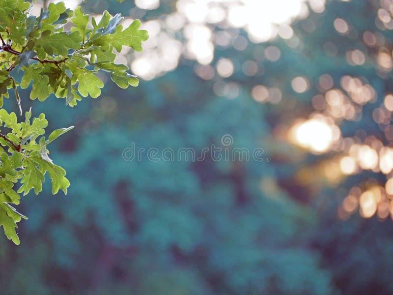 Dębowego drzewa branche na zielonym pomarańczowym bokeh tle obraz royalty free