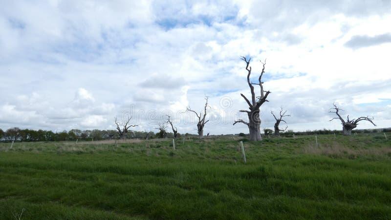Dębowego drzewa driad antyczny osłupiały las cieszy się dzień 1 zdjęcie stock