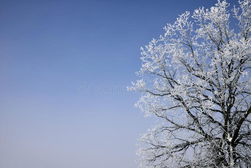 Dębowego drzewa Hoarfrost zdjęcie royalty free
