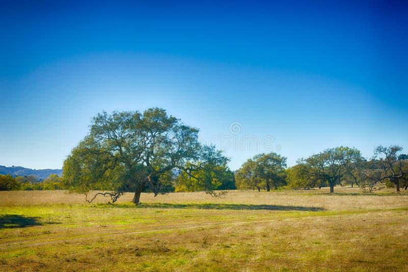 Dębowi drzewa w Kalifornia łące obrazy royalty free