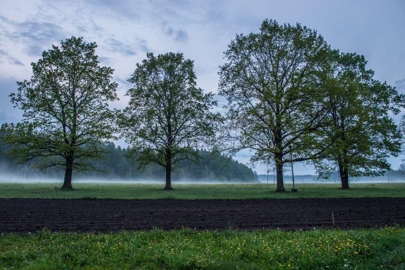 Dębowi drzewa w mglistym wieczór zdjęcia royalty free