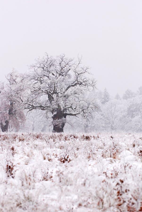 dębowy śnieg objętych drzewo zdjęcia stock