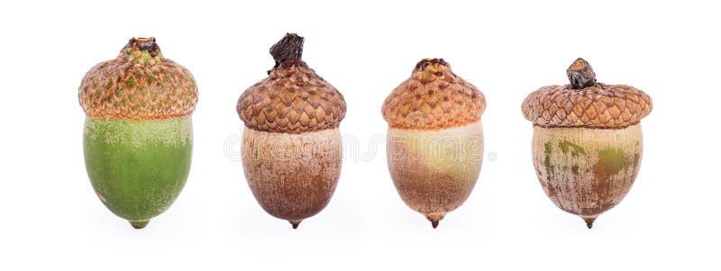 Dębowy acorn na białym tle kolaż Makro- fotografia stock