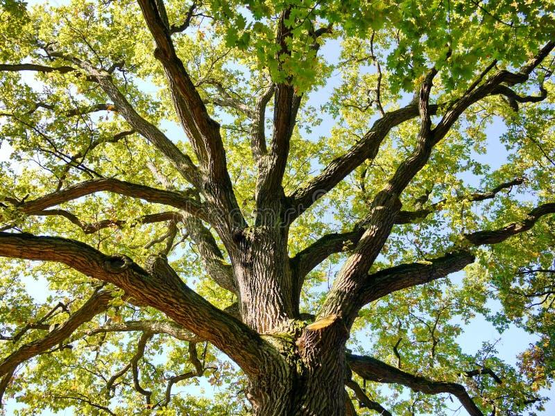 Dębowy drzewnego bagażnika wierzchołek w naturze zdjęcia stock
