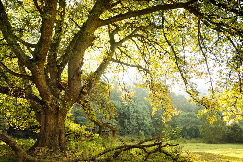 Dębowy drzewo i łąka obraz royalty free