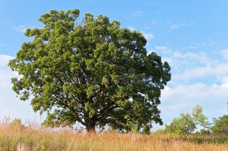 Dębowy drzewo i preria krajobraz zdjęcie royalty free