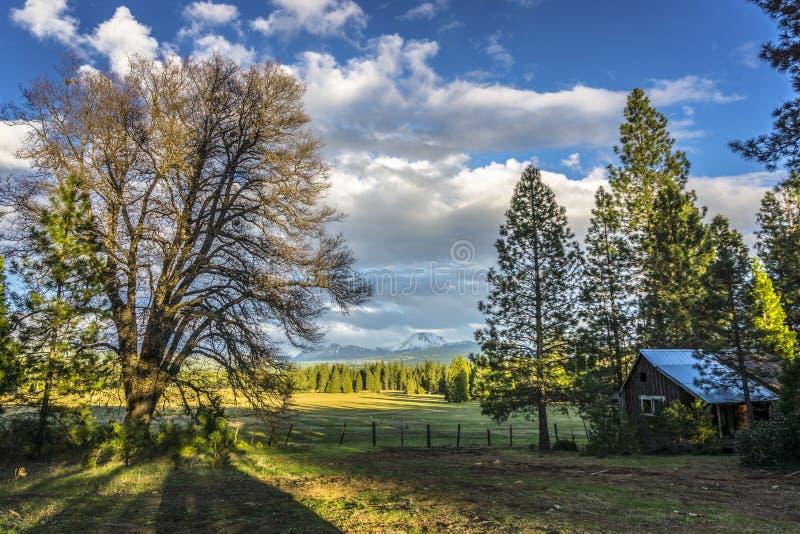 Dębowy drzewo i zaniechana drwal kabina, Lassen szczyt, Lassen Powulkaniczny park narodowy zdjęcia royalty free