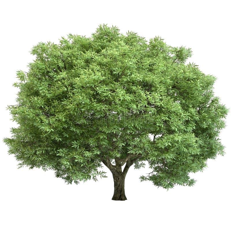 Dębowy drzewo Odizolowywający ilustracja wektor