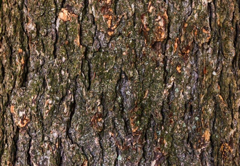 Dębowy drzewo strzelający dla tekstury obrazy stock