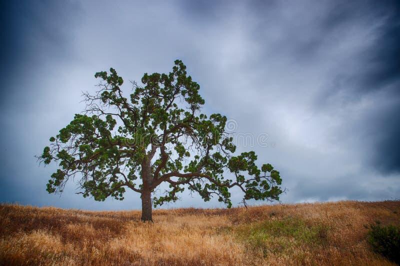 Dębowy drzewo w burzy zdjęcie stock