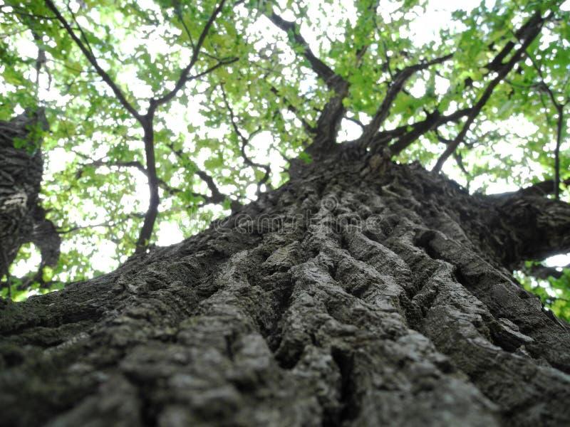 Dębowy drzewo w lesie obrazy stock