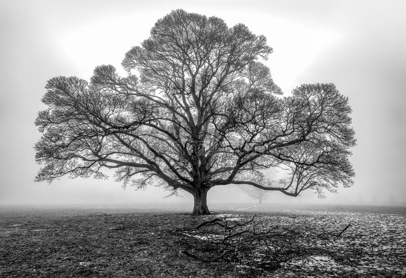 Dębowy drzewo w mgle obraz stock