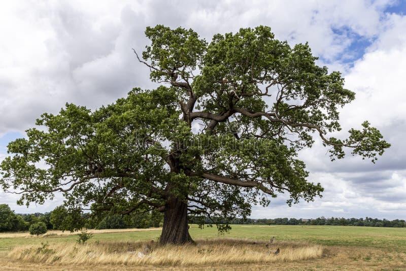 Dębowy drzewo w parkland fotografia royalty free