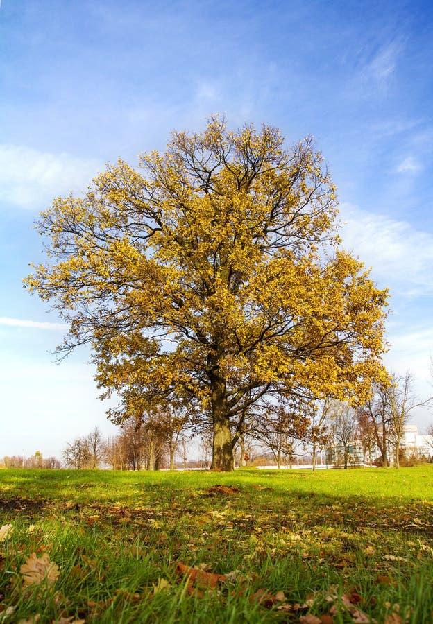 Dębowy drzewo z żółtymi liśćmi zdjęcia stock