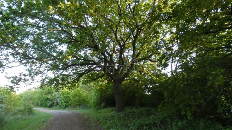 Dębowy Duir Quercus drzewo przy zmierzchem zdjęcie royalty free